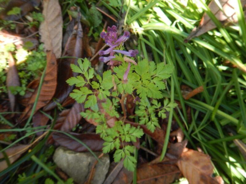 ムラサキケマンの花と葉