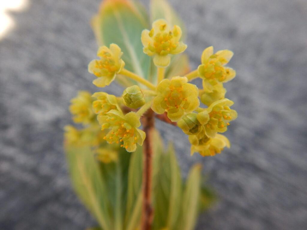 近くで見たカナクギノキの花(4月7日)