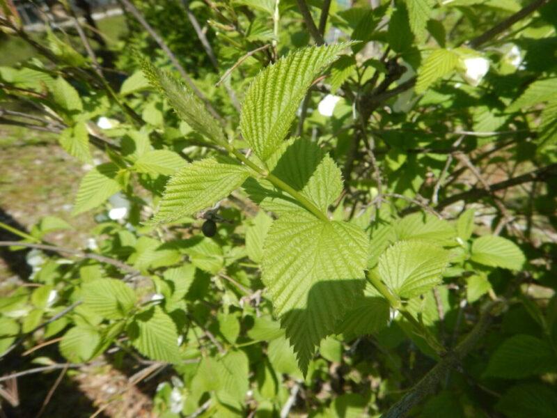シロヤマブキの葉