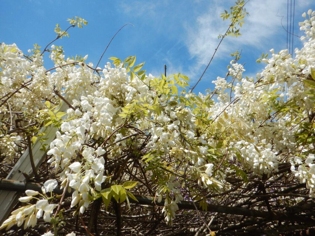 白いフジの花