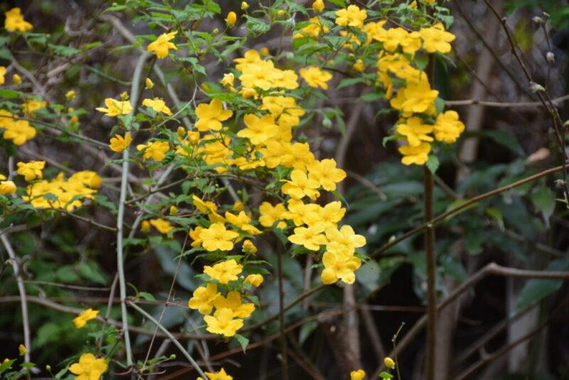 山で咲く一重のヤマブキ