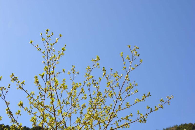 カナクギノキのたくさんの花々(4月7日)