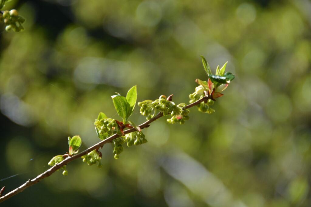カナクギノキの花(4月7日)