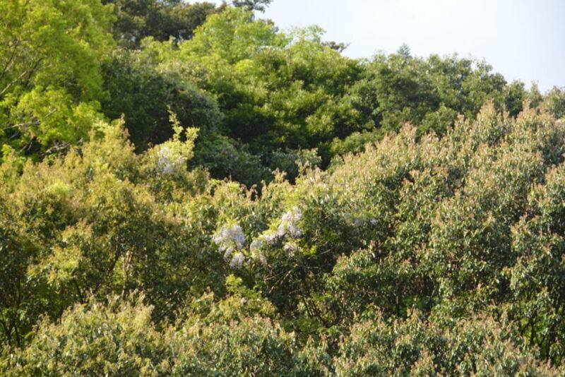 山に樹々の中で咲くフジの花