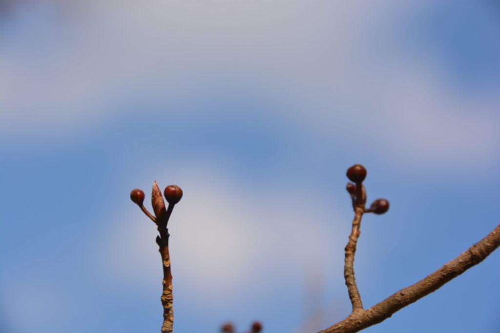 カナクギノキの冬芽(1月31日)