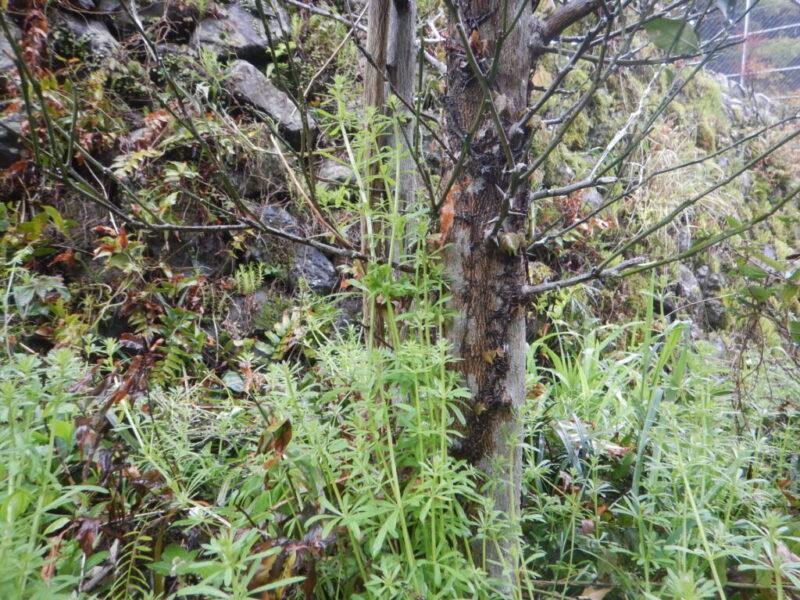 ヤエムグラの茎と葉