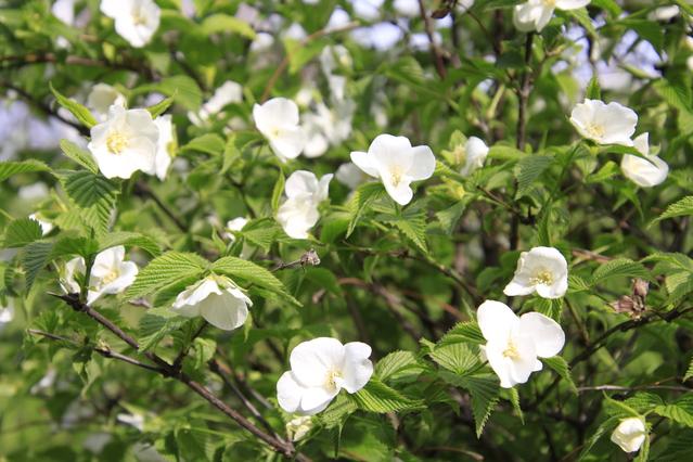 たくさん咲いたシロヤマブキ