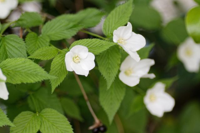 シロヤマブキの花と葉