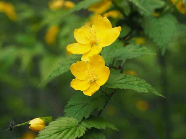 ヤマブキの花と葉