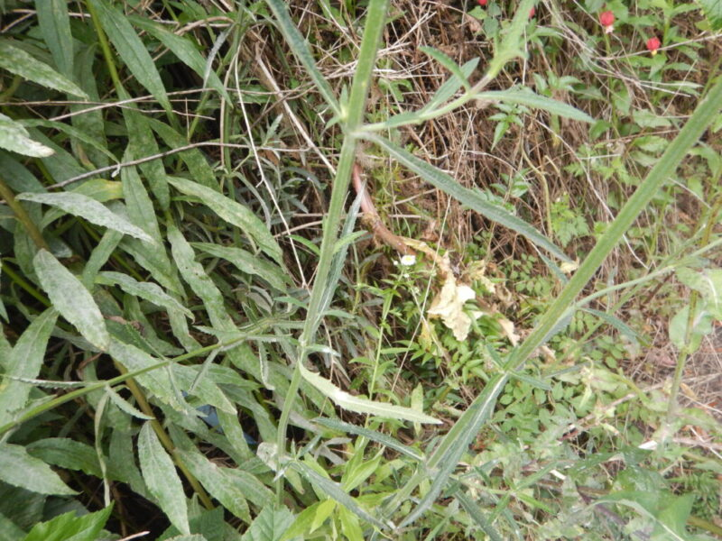 ヤナギハナガサの茎と葉
