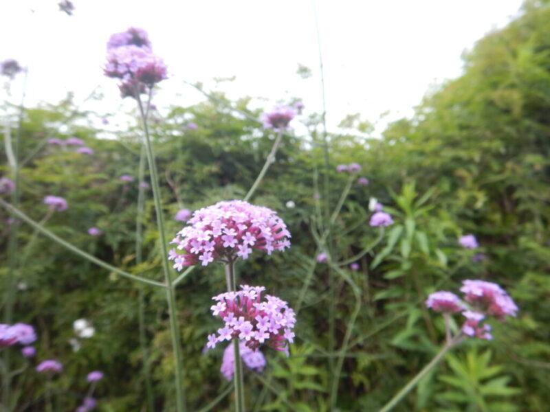 ヤナギハナガサの花々