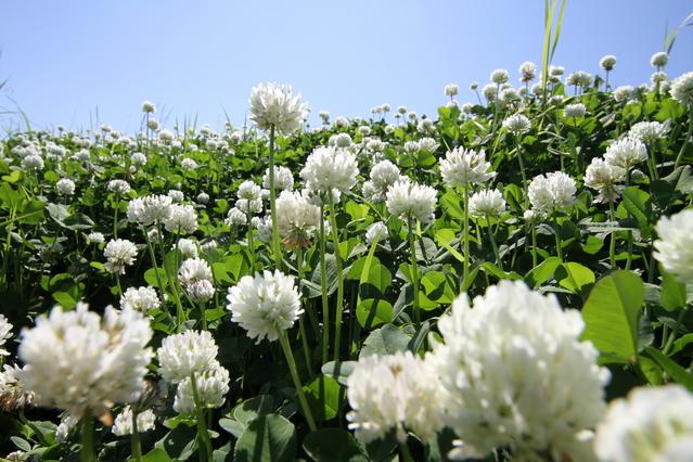 シロツメクサの花々