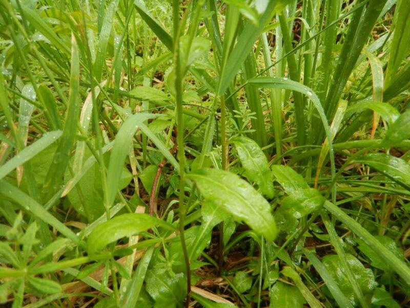ミヤマヨメナの茎と葉