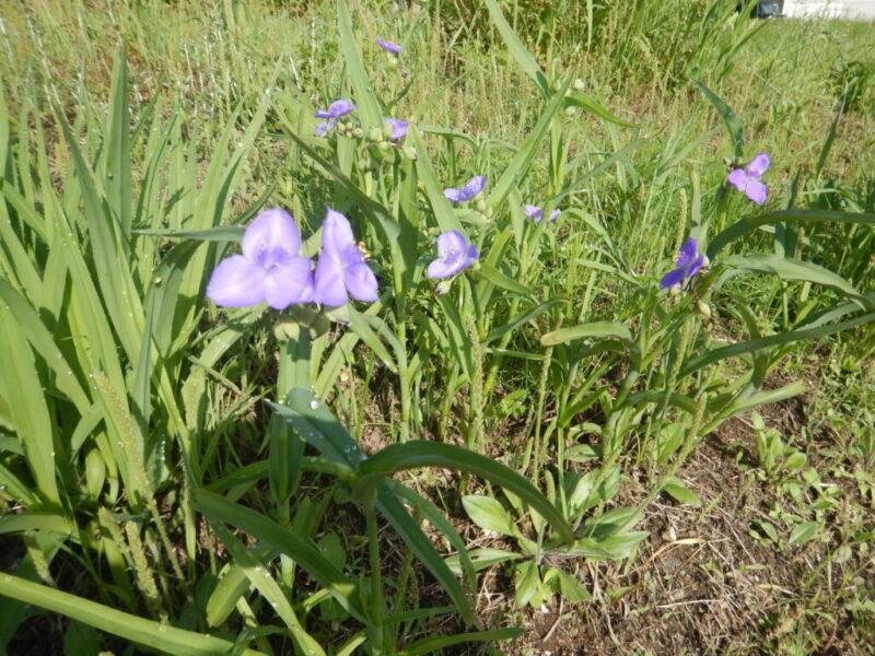 ムラサキツユクサの花々