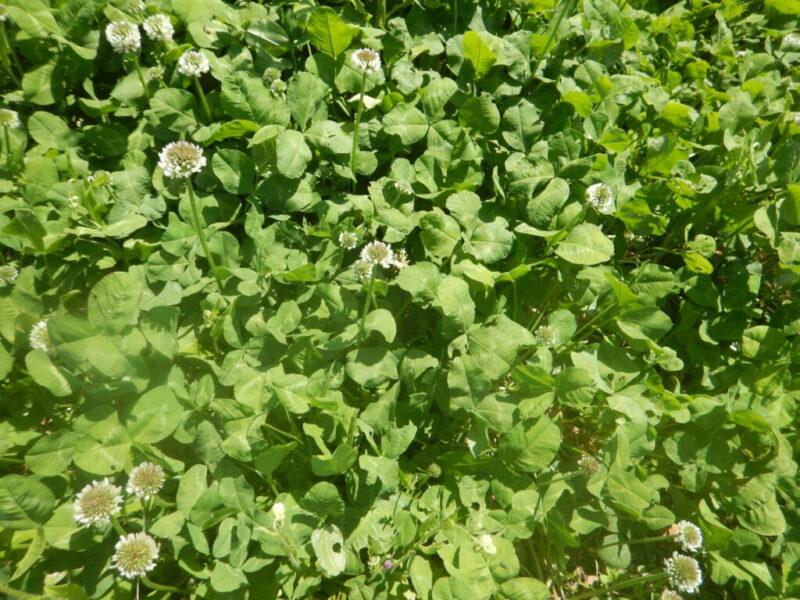 シロツメクサの葉