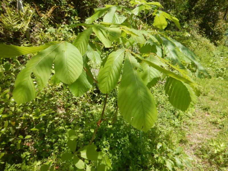 葉が緑になったトチノキ
