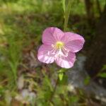 ユウゲショウの花