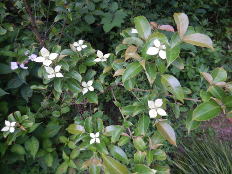 常緑ヤマボウシに咲いた花