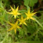 オノマンネングサの花