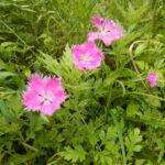 カワラナデシコの花