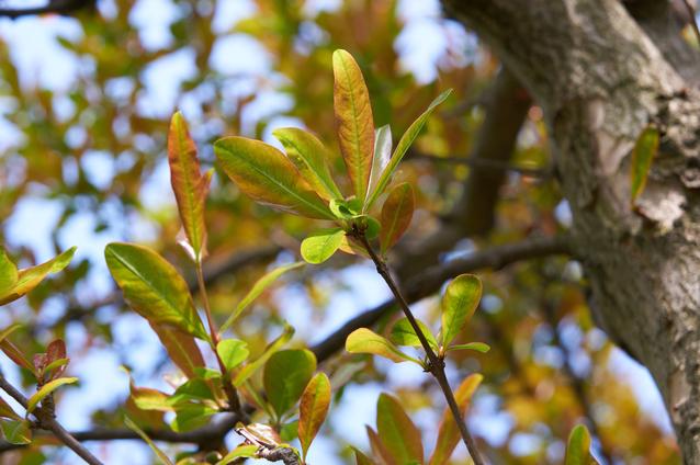 ザクロの葉