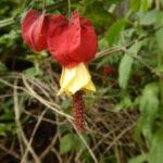 ウキツリボクの花