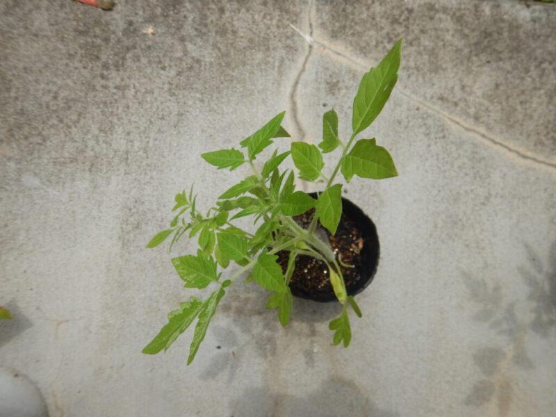種から育てたトマト