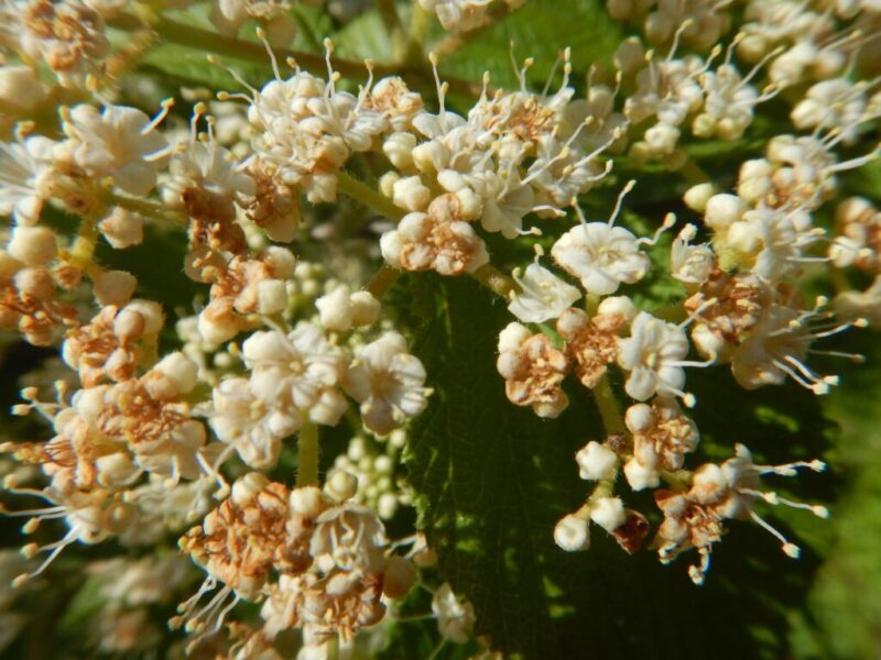 近くで見るガマズミの花(5月29日)