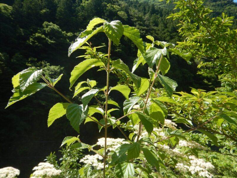 ガマズミの枝と葉