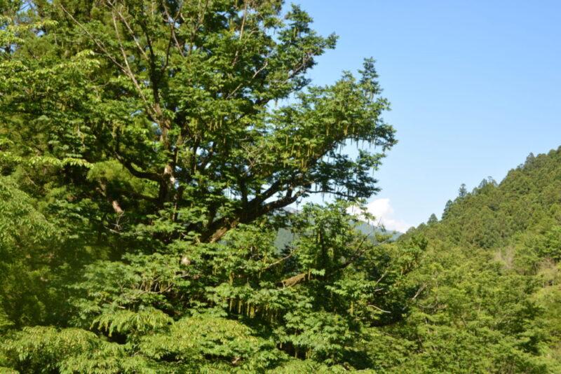 サワグルミの樹