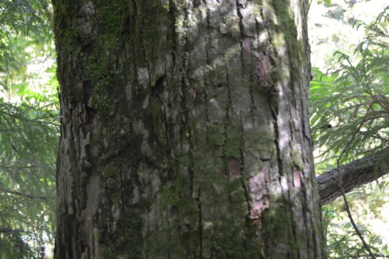 サワグルミの幹