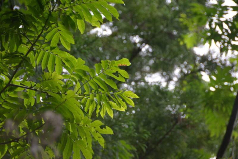 サワグルミの葉