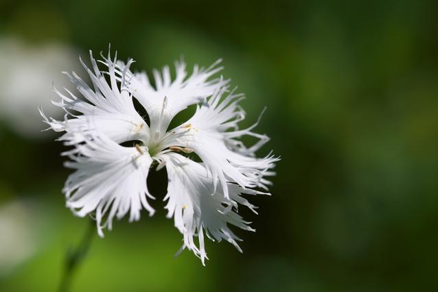 白いカワラナデシコの花