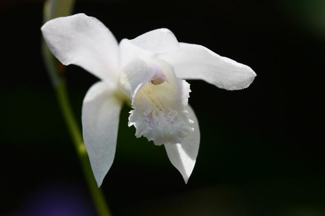 白いシランの花