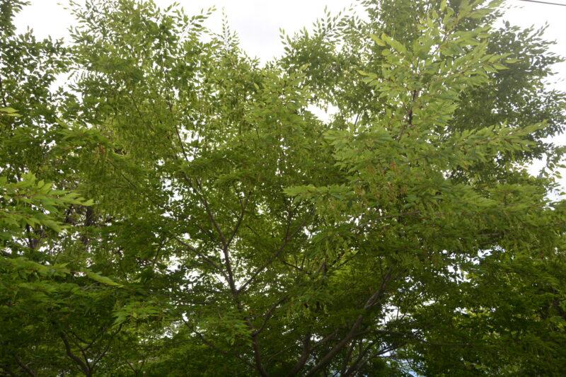 アカシデの樹