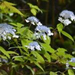 山で咲くヤマアジサイ