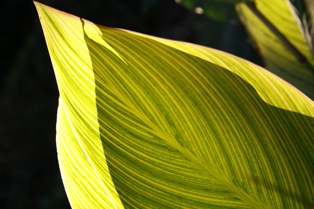 縞模様が入ったカンナの葉