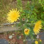 ノゲシの花