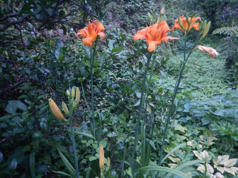花茎の先に咲いたヤブカンゾウの花