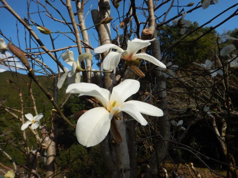 3月に咲いたコブシの花