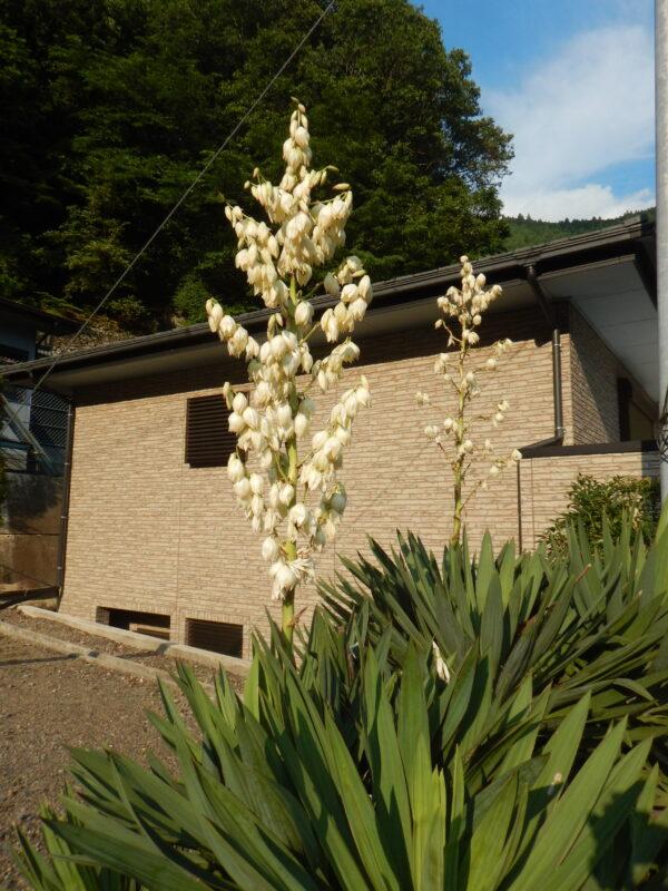 高く咲いたキミガヨラン