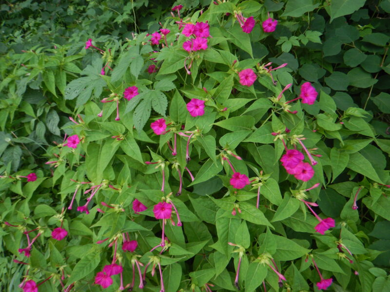 たくさん咲いたオシロイバナ