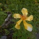トモエソウの花