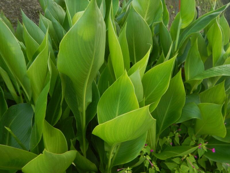 きれいなカンナの葉