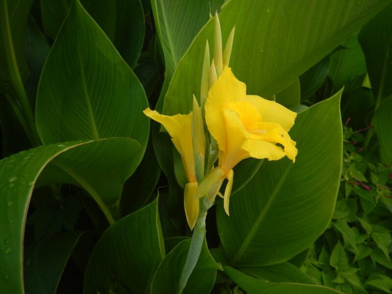 黄色いカンナの花