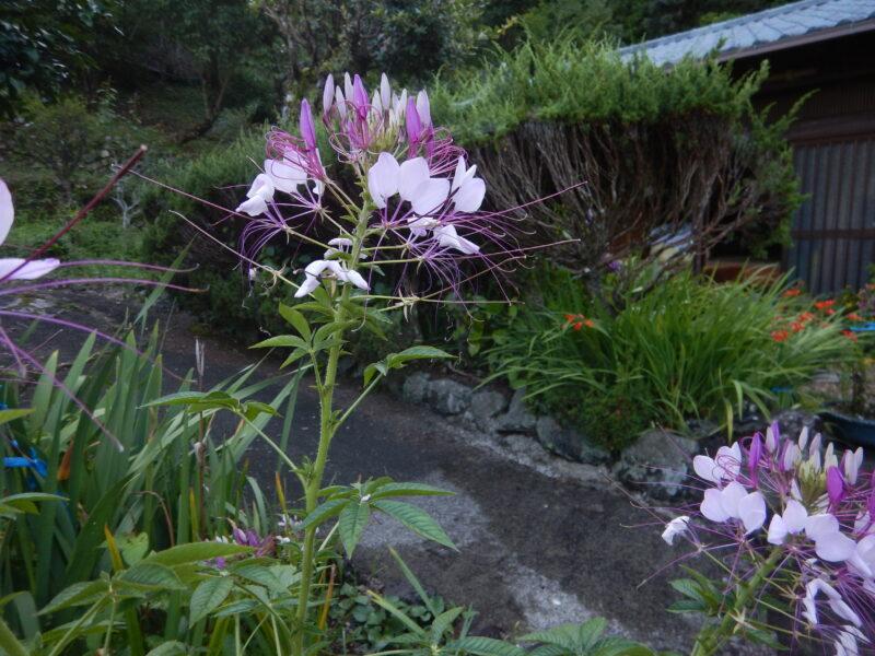 セイヨウフウチソウの花