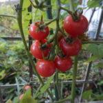 プランタのミニトマト