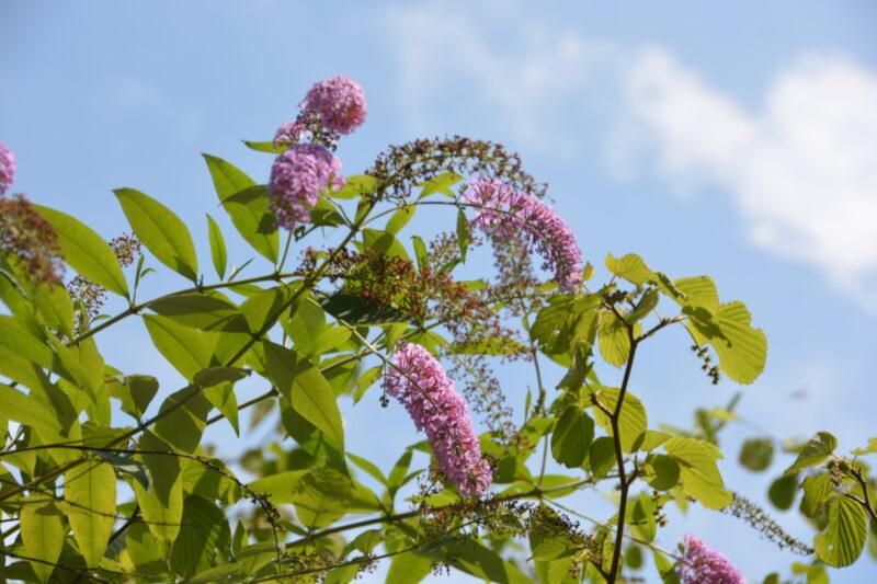 フサフジウツギに咲いた紫の花
