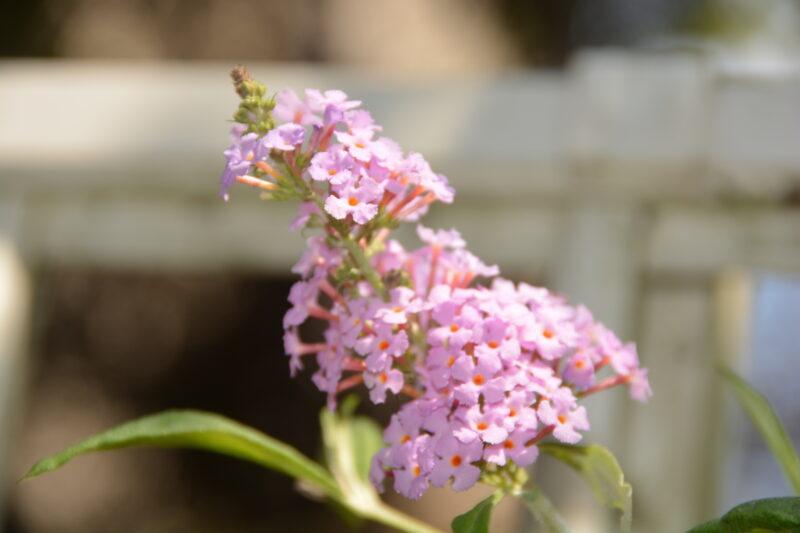 フサフジウツギの花
