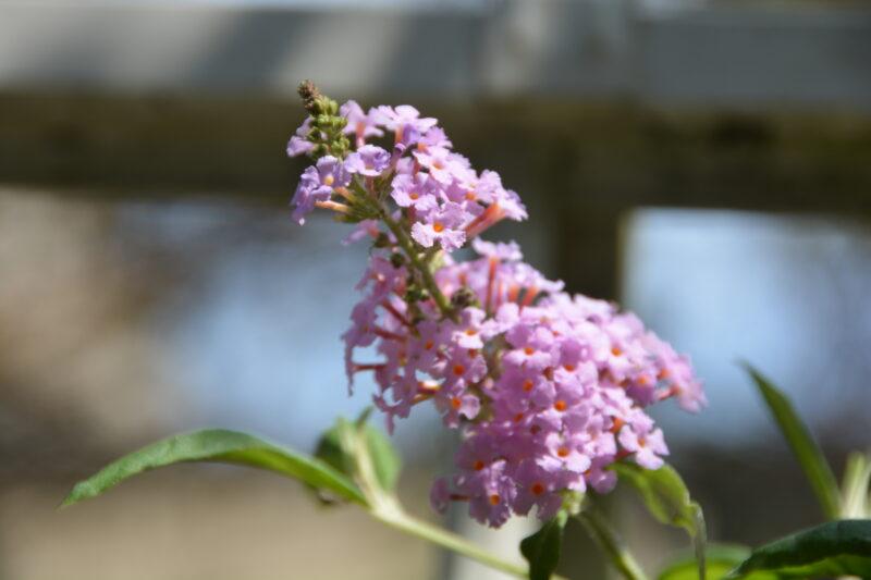 近くで見たフサフジウツギの花